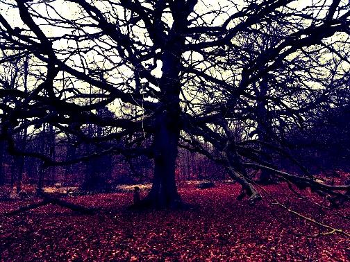 rysterbosk eeuwenoude boom (2)